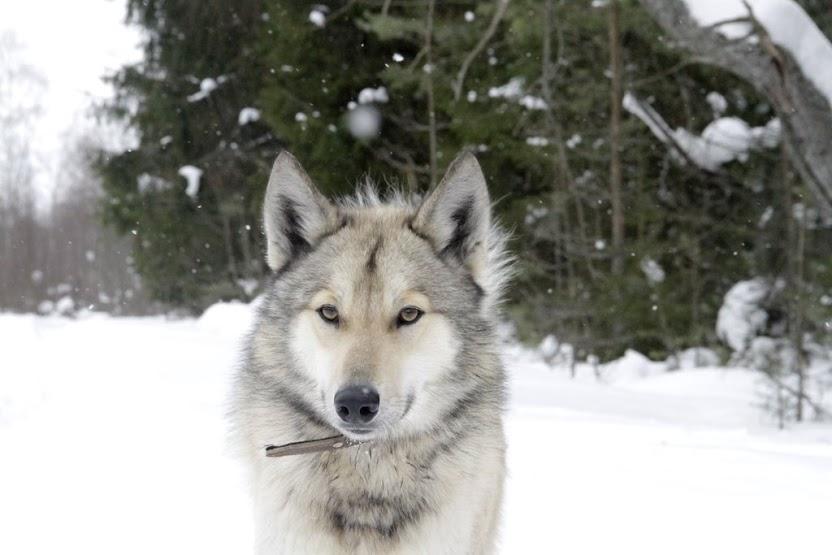 Щенки волка
