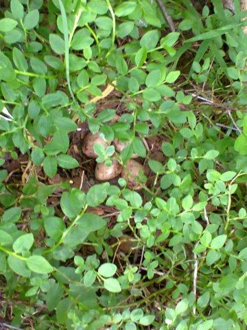 Гнездо вальдшнепа июнь 2014