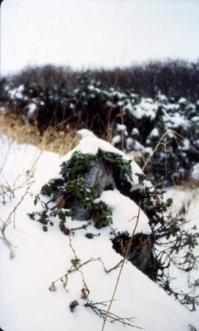 Курильский рододендрон под снегом